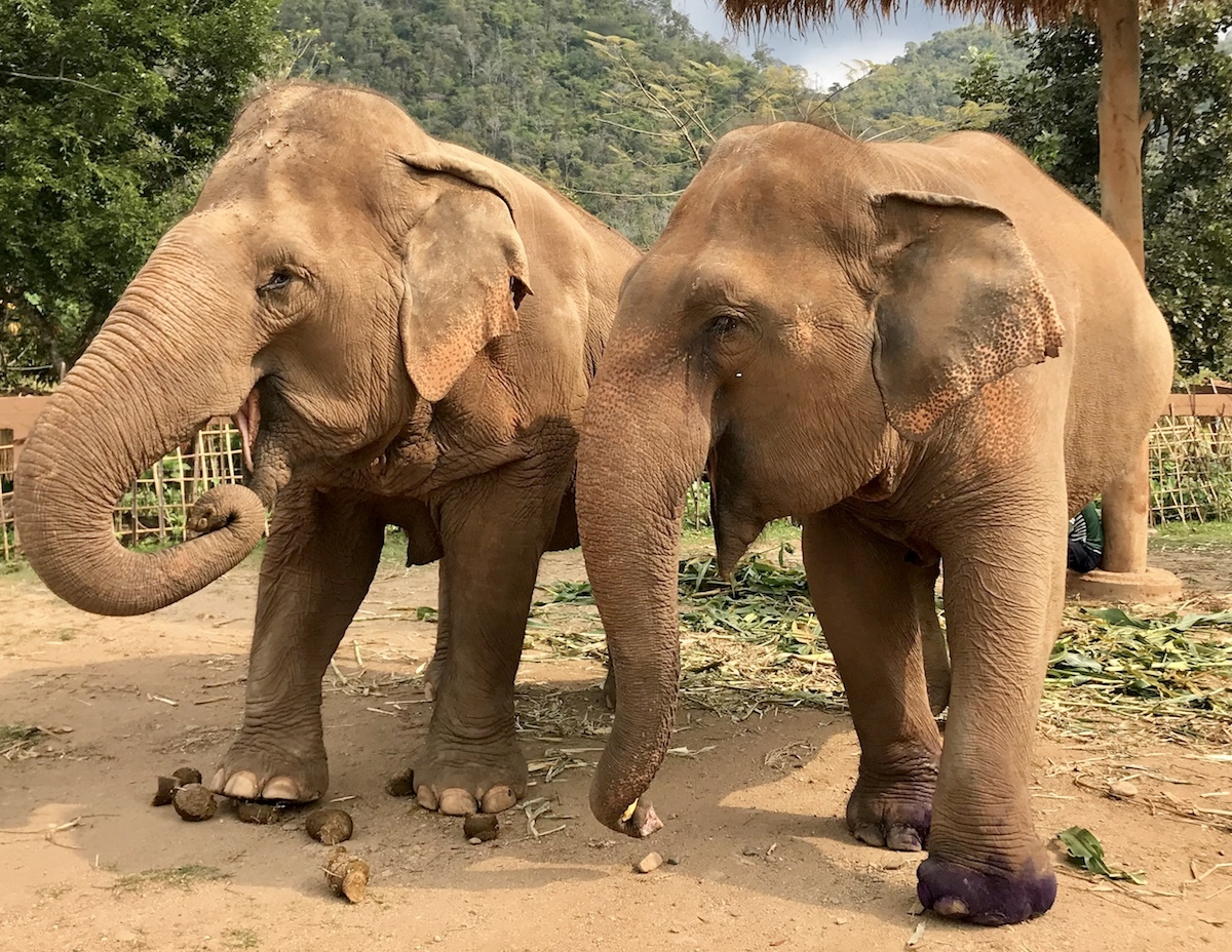 Adopted Sister Elephants