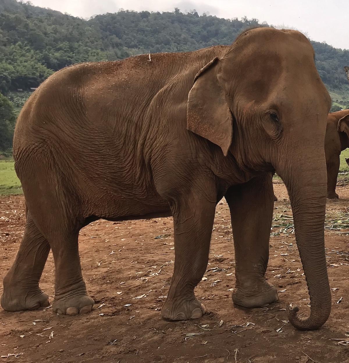 A nearly 100yr old Elephant